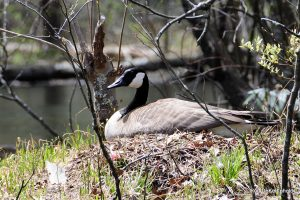 Nesting Canada goose. Photo by Ron DeKett.