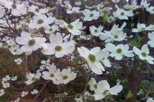 dogwood by Ron DeKett