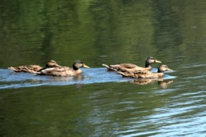 four ducks in a row by Ron DeKett
