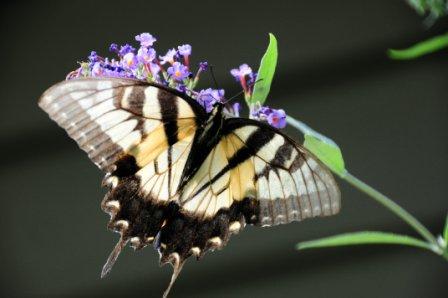 yellow swallowtail by Ron DeKett